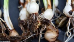 Dwarf Water Onion Plant
