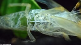 Empty Bamboo Shrimp: Torso Shell