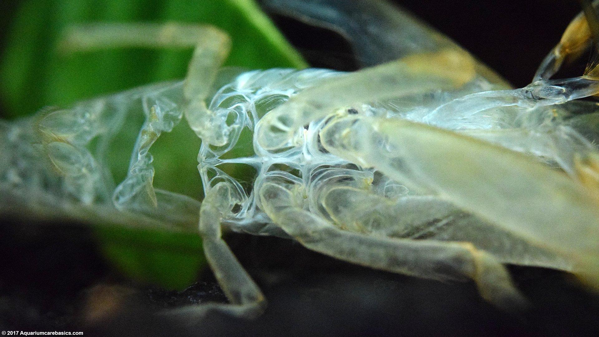 Bamboo Shrimp: Tank Mates, Food, Care, Feeding & Video
