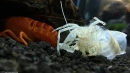 Empty Vanilla Lobster Shell After Molting