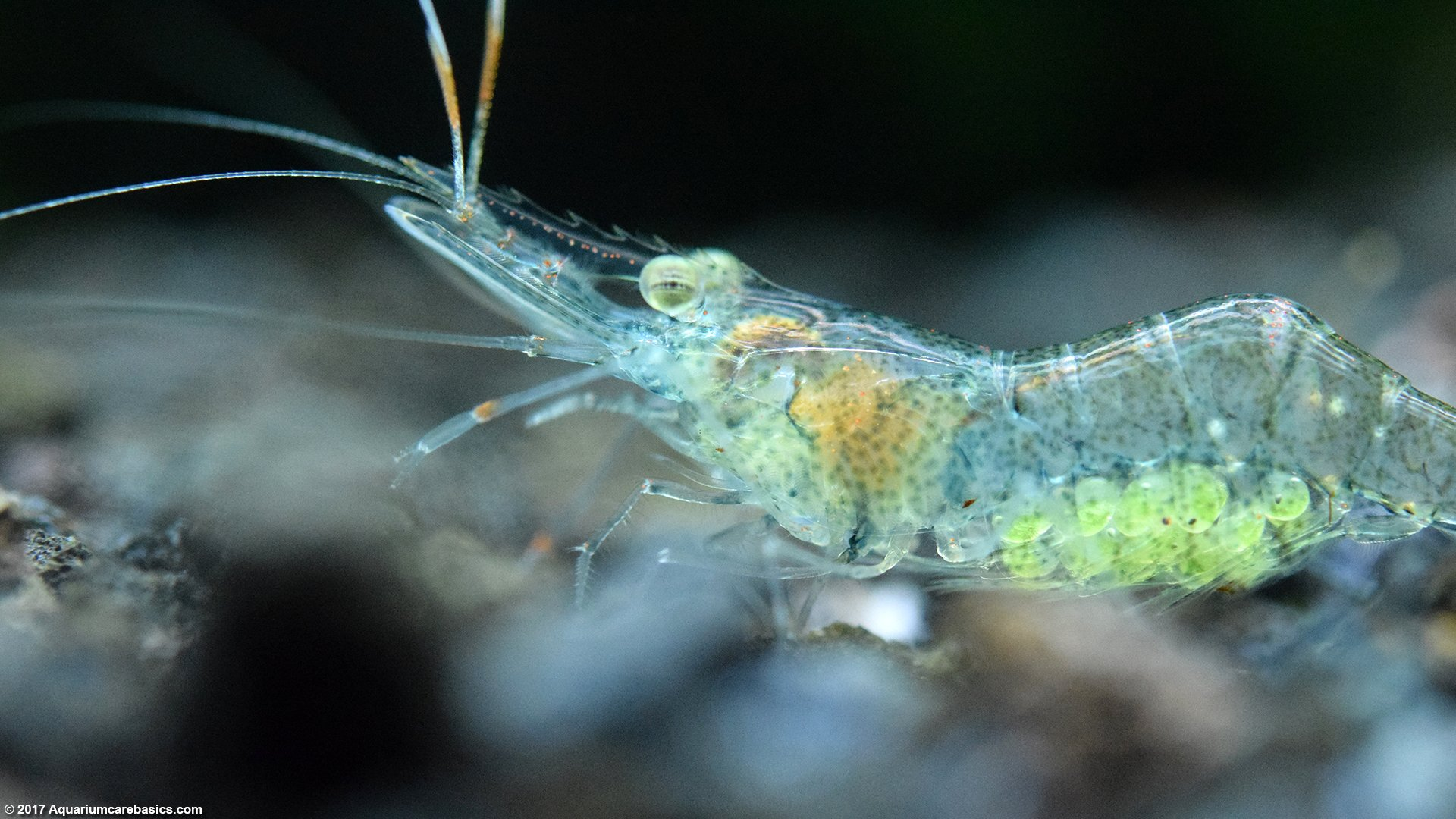 Ghost Shrimp Care, Food, Lifespan, Habitat - Video