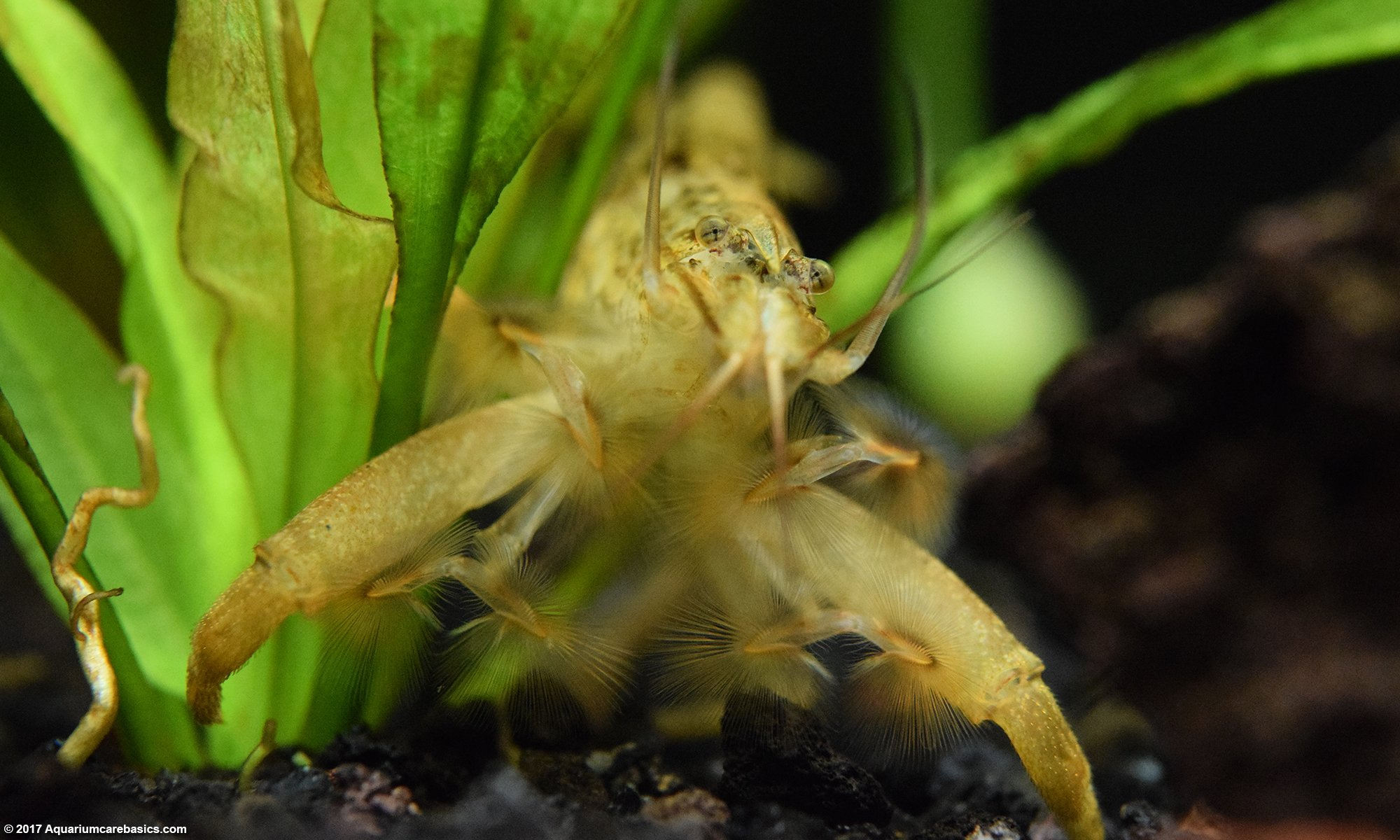Asian Filter Feeding Shrimp