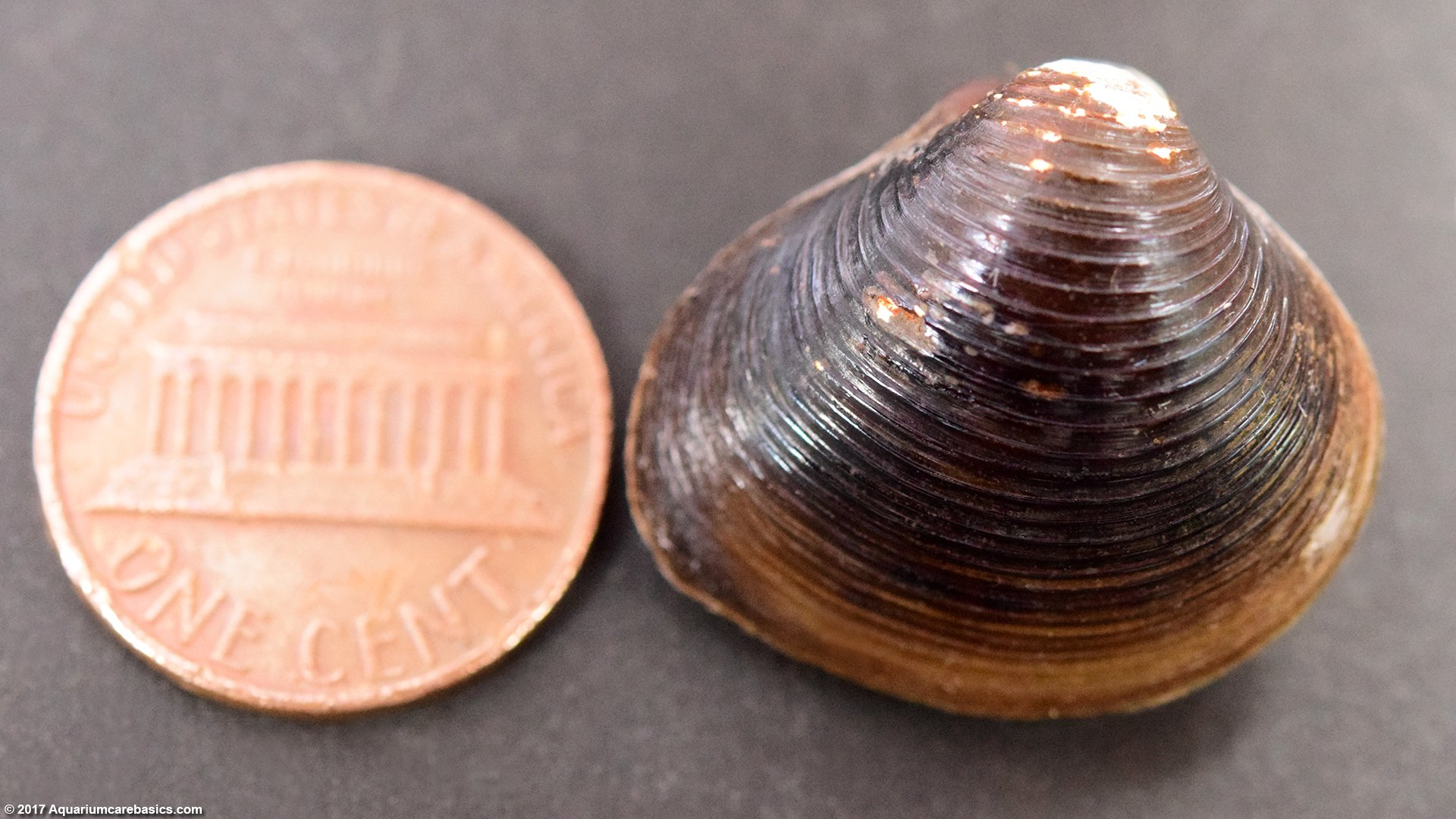 Freshwater Clam Size