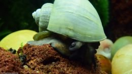 Freshwater Mystery Snail On A Lava Rock