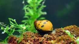 Freshwater Nerite Snails Can Be Great Tank Cleaners