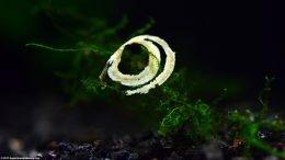 Freshwater Snail Operculum Dissolving