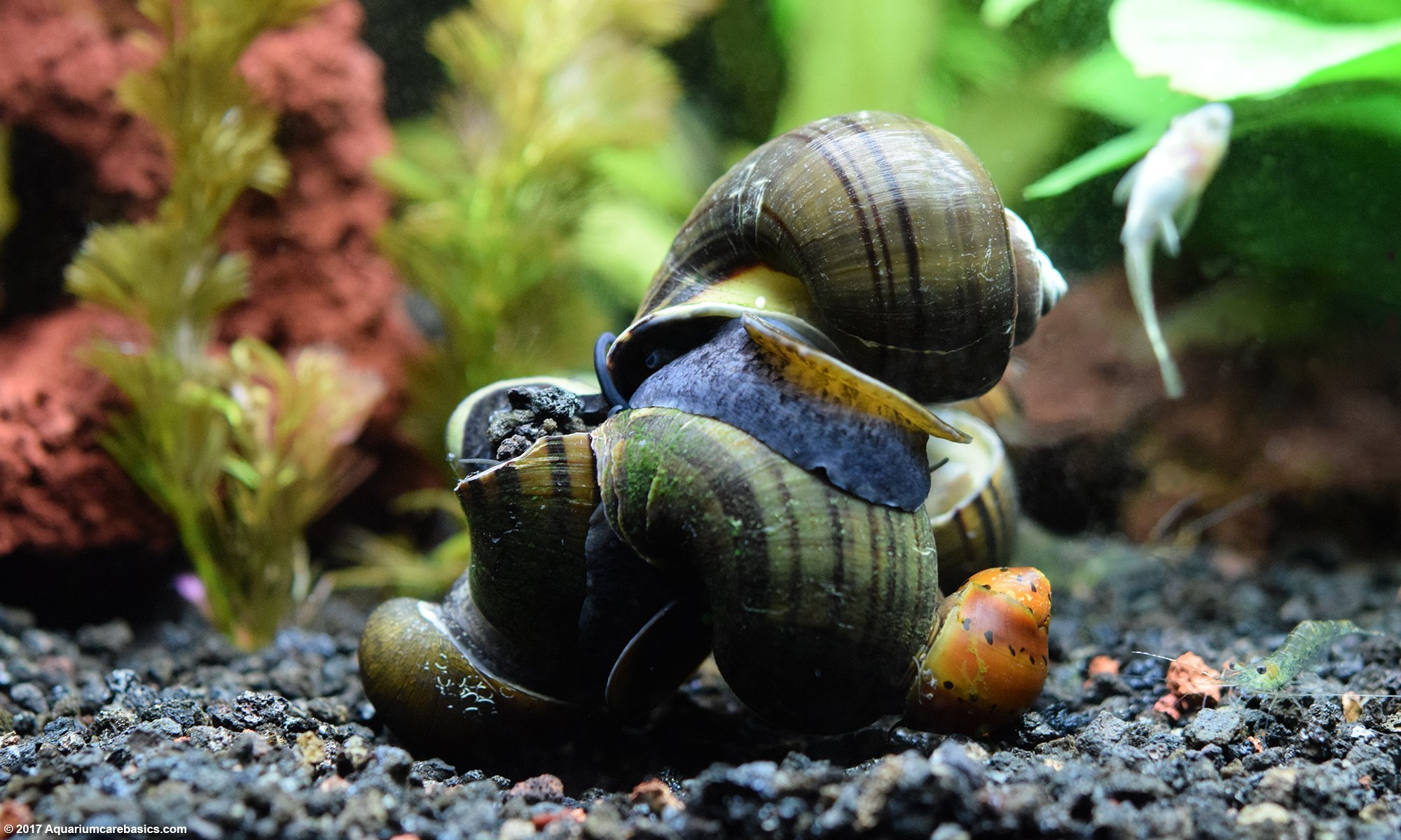 Freshwater Snails On The Bottom Of The Tank