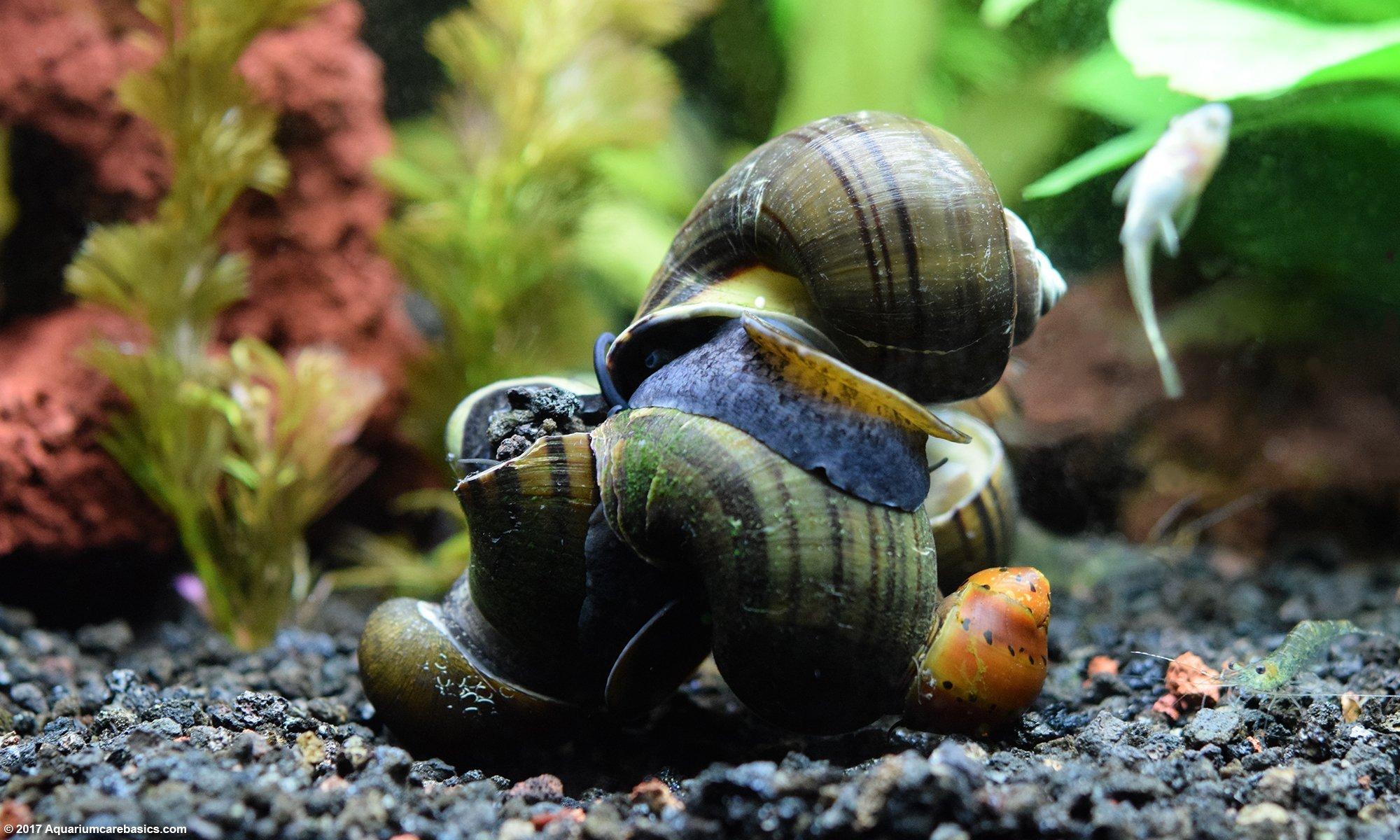 Freshwater Snails Types Of Aquarium