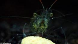 Ghost Shrimp Eating Algae Wafer