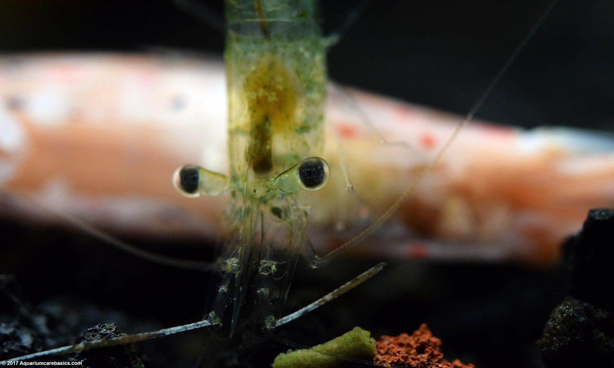 Ghost Shrimp Eating A Dead Amano Shrimp