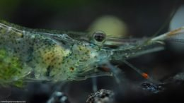Ghost Shrimp Eye, Upclose