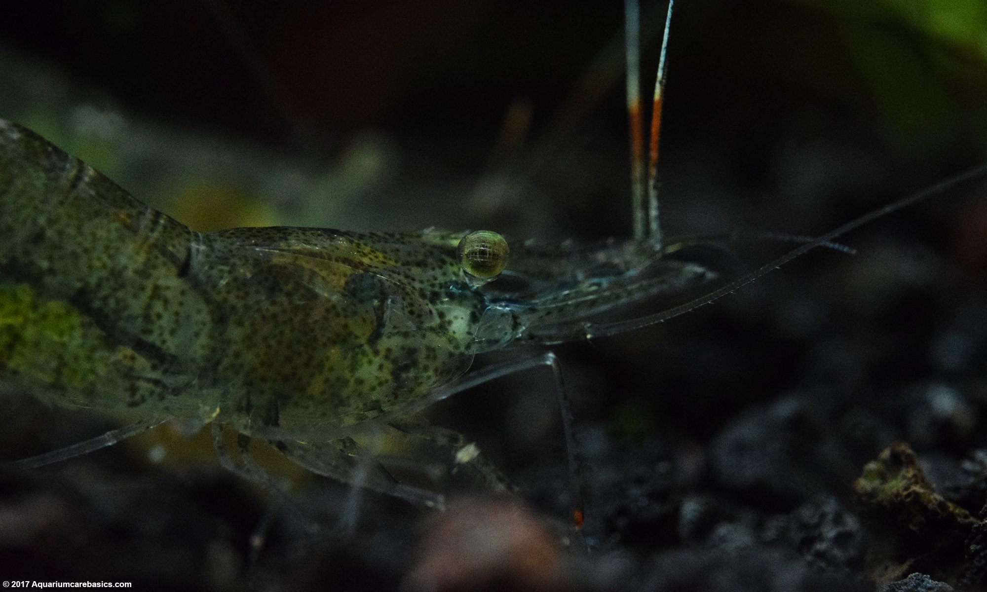 Ghost Shrimp Gets Its Food Stolen As It Eats