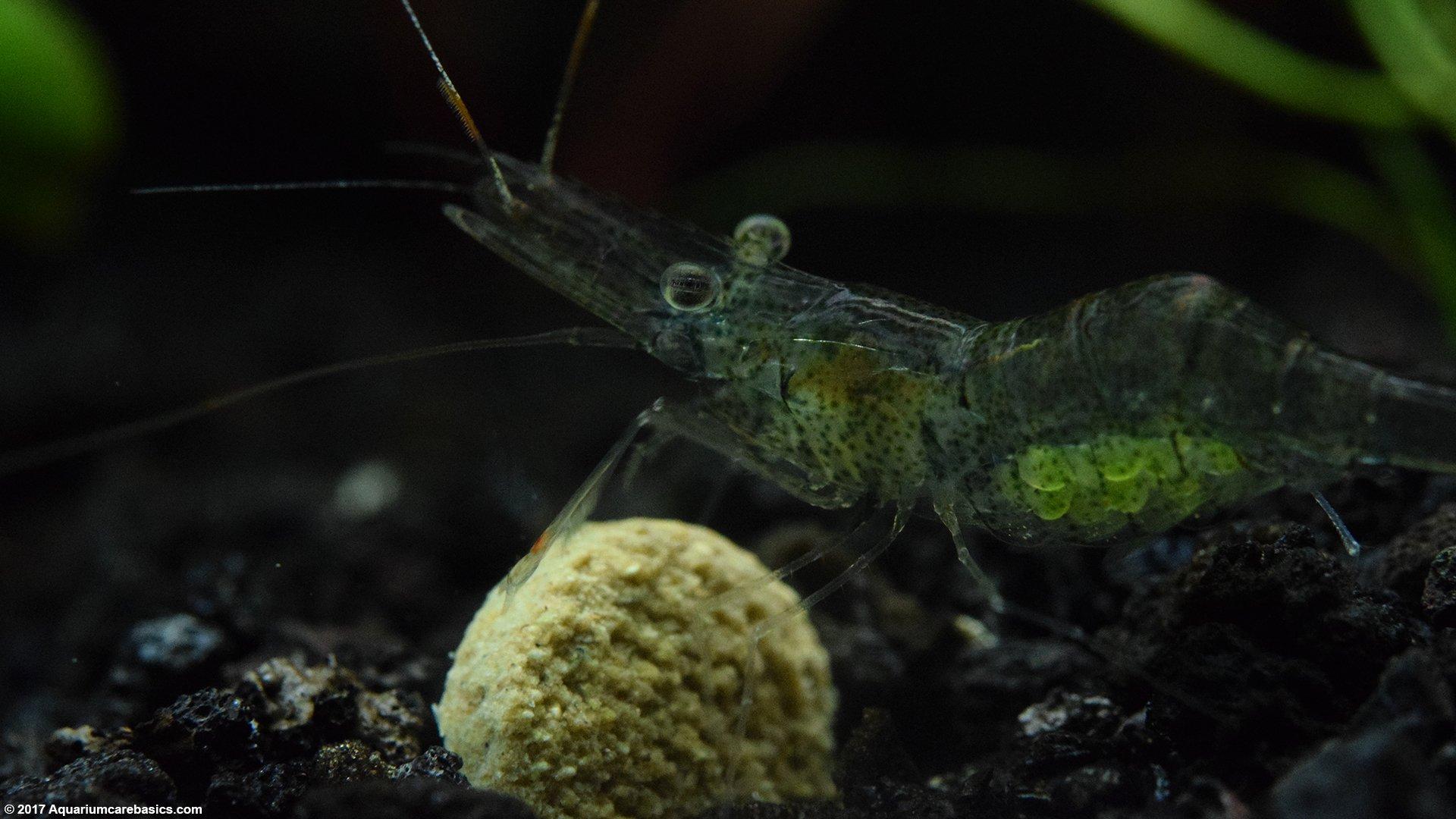 Ghost Shrimp Care, Food, Lifespan, Habitat & Videos