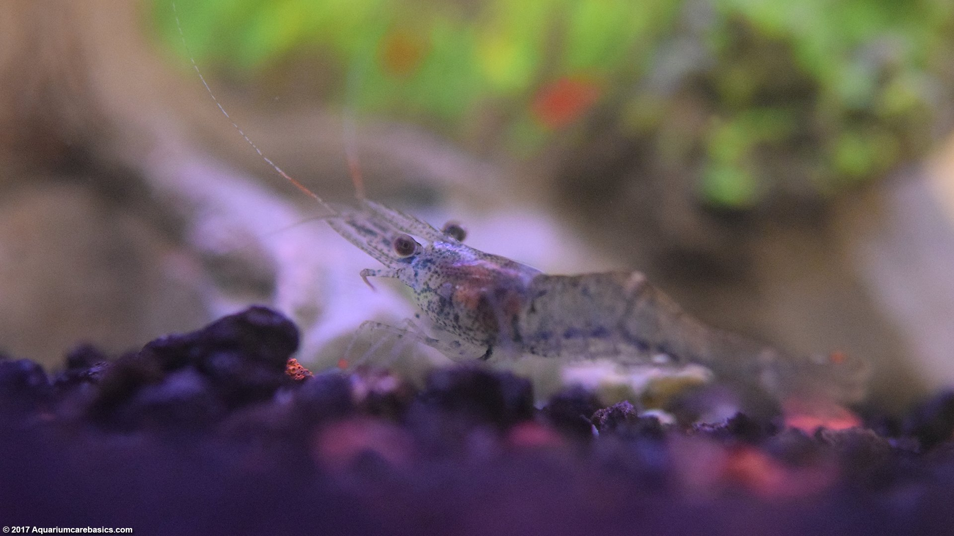 A Ghost Shrimp Standing on Black Aquarium Substrate