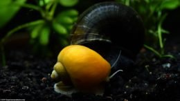 Gold Inca Snail And Mystery Snail Shells