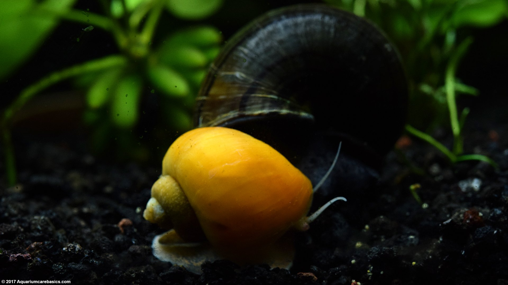 Gold Inca Snail Care, Feeding, Size, Tankmates & Lifespan