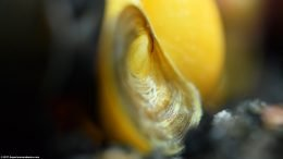 Gold Inca Snail: Showing Operculum, Closeup