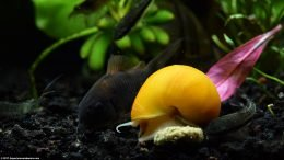 Gold Inca Snail With Otocinclus And Cory Catfish