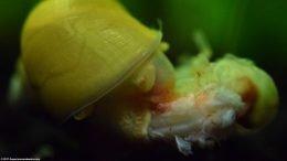 Gold Inca Snail, Scavenger