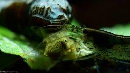 Gold Rabbit Snail Feeding With An Amano Shrimp