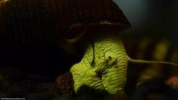 Gold Rabbit Snail Body