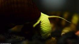 Gold Rabbit Snail Closeup
