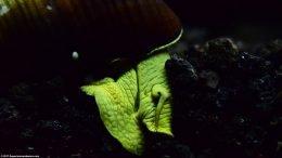 Gold Rabbit Snail Eating