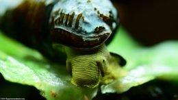 Gold Rabbit Snail Eating Lettuce In A Freshwater Tank