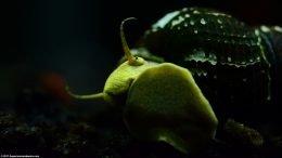 Gold Rabbit Snail Eye