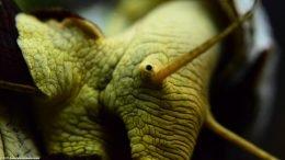 Gold Rabbit Snail Eye, Closeup