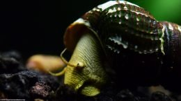 Gold Rabbit Snail Feeding