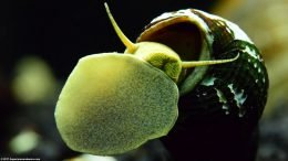 Gold Rabbit Snail Foot And Mouth On Glass