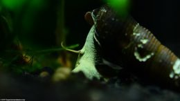 Gold Rabbit Snail Habitat In A Freshwater Tank, Upclose