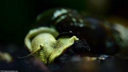 Gold Rabbit Snail Operculum