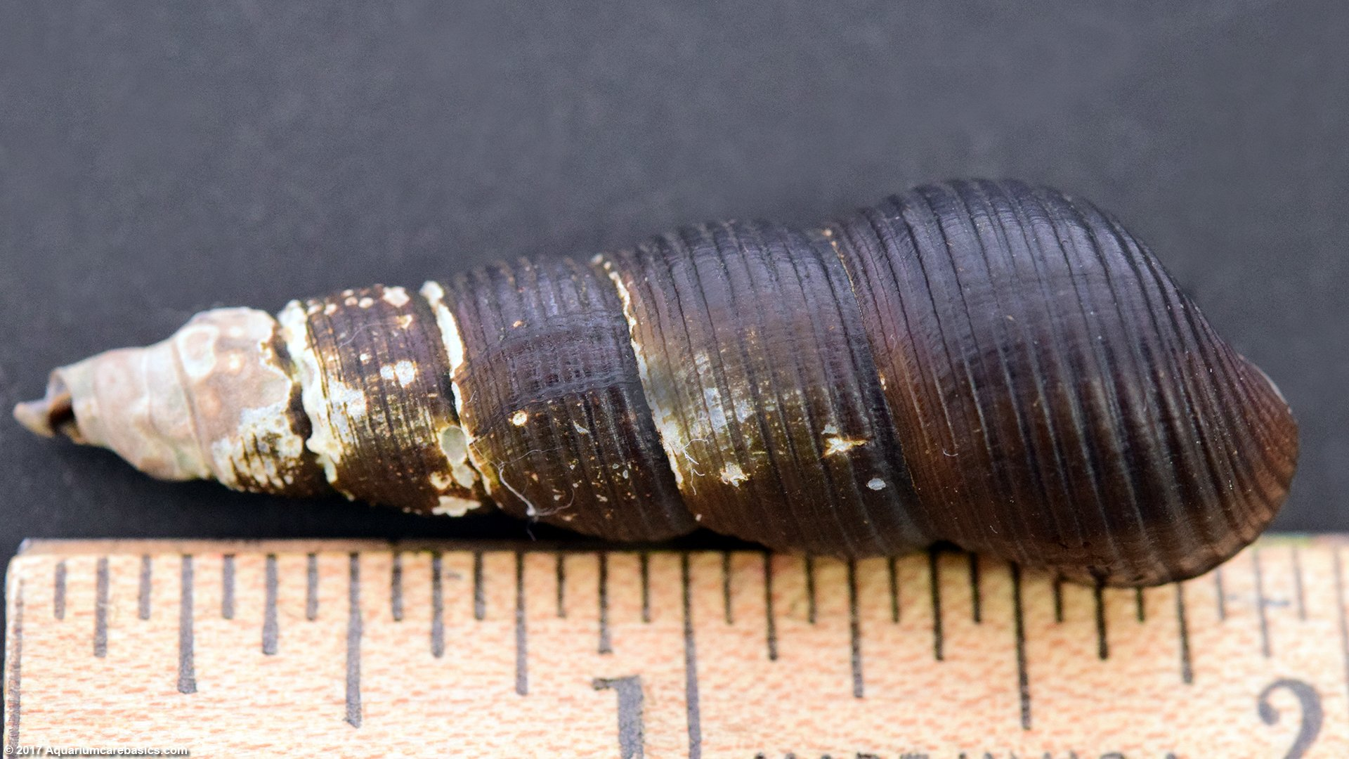 Gold Rabbit Snail Size In Inches