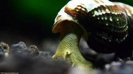 Gold Rabbit Snail Stretching Body