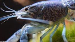 Hammers Cobalt Blue Aquarium Lobster Cephalothorax