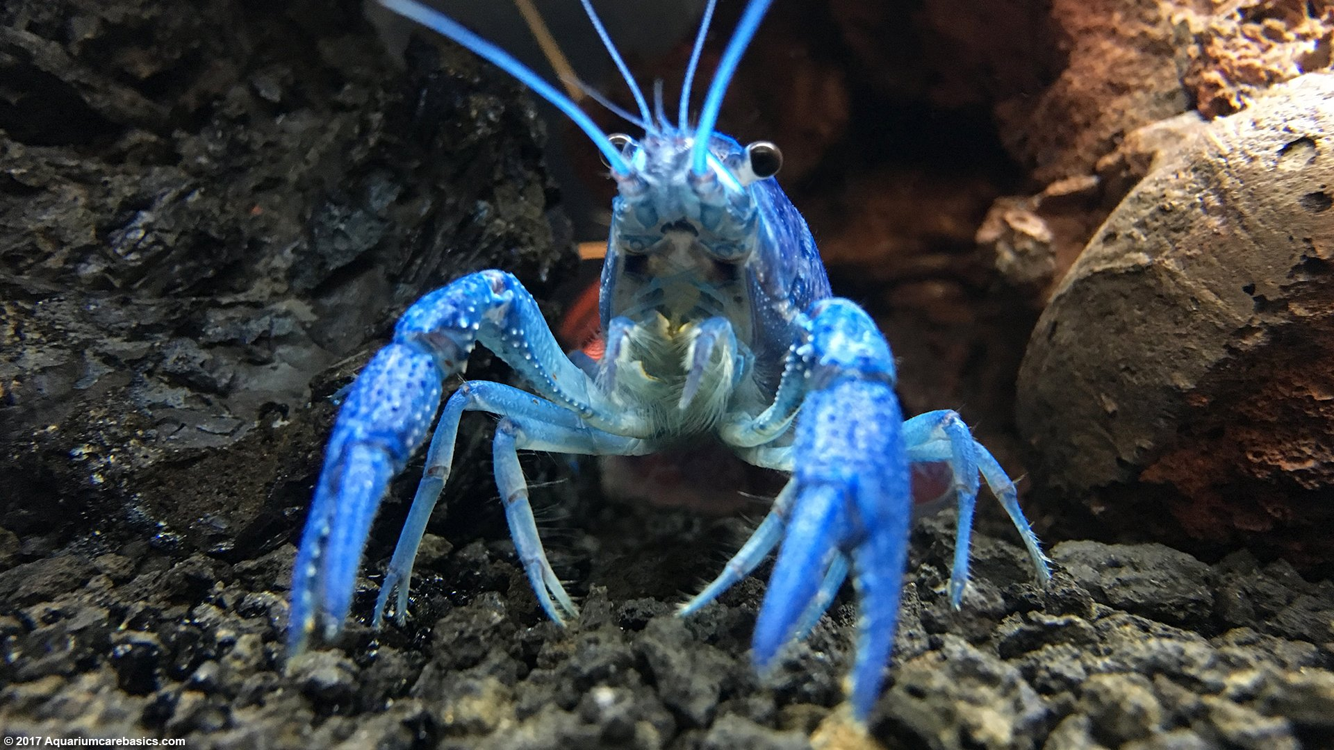 Hammers Cobalt Blue Lobster: Care, Size, Color, Food & Diet