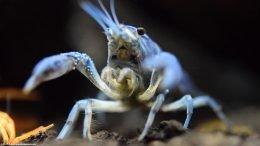 Hammers Cobalt Blue Aquarium Lobster, Closeup