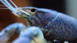 Blue Aquarium Lobster Eye, Closeup