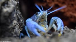 Blue Crayfish Showing Its Feeding Appendages