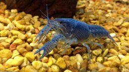 Hammers Cobalt Blue Lobster In A Freshwater Tank