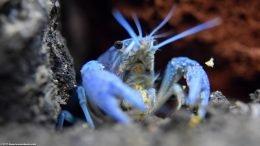 Hammers Cobalt Blue Lobster Holding Food
