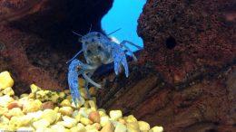 Hammers Cobalt Blue Lobster On Lava Rock