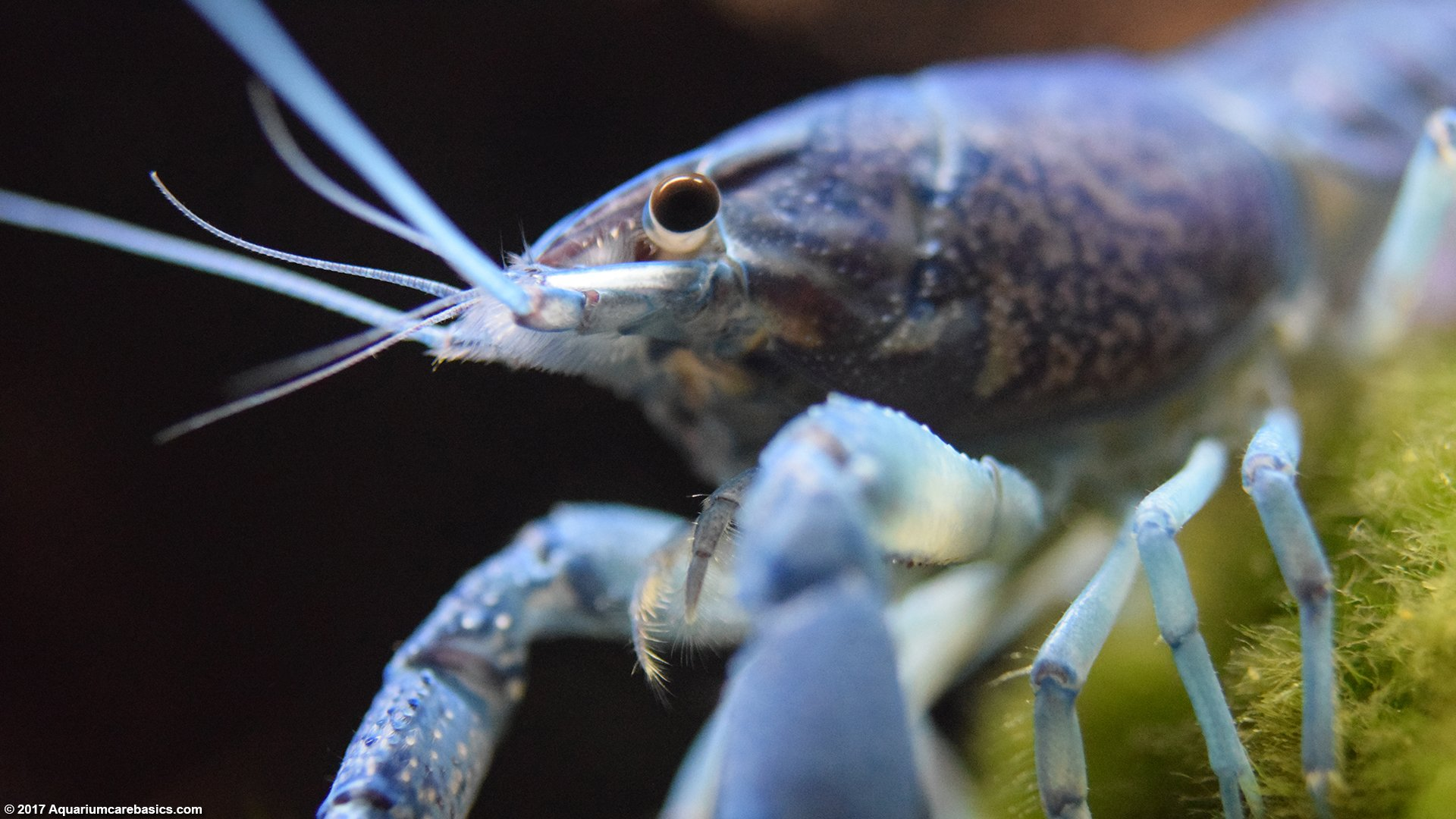 ส น ำเง Electric Blue Crayfish