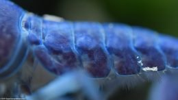Hammers Cobalt Blue Lobster Terga