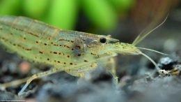 Japanese Swamp Shrimp In A Freshwater Tank