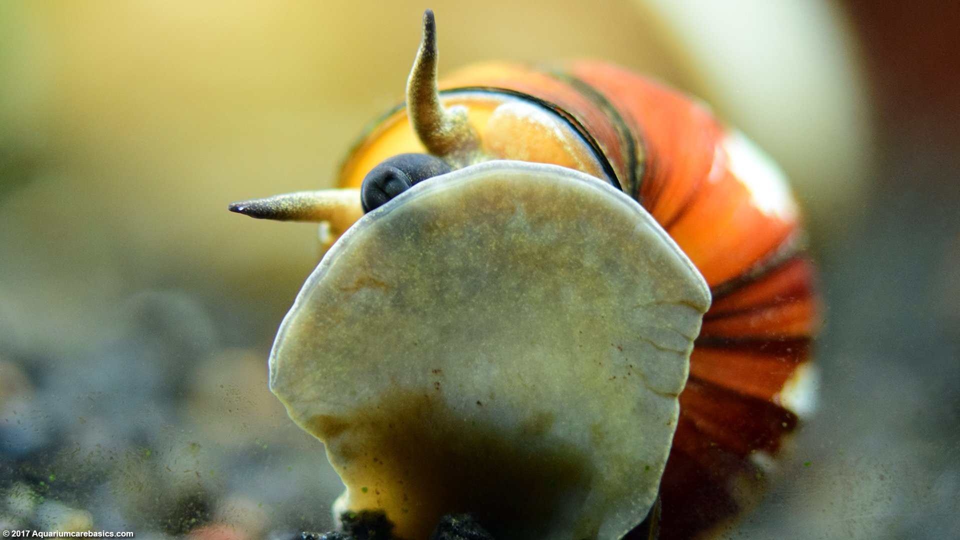 Japanese Trapdoor Snails: Care, Size, Diet & Reproduction - Video
