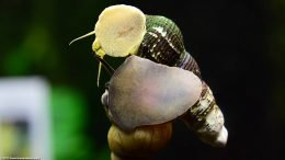 Japanese Trapdoor Snail And Gold Rabbit Snail, On Glass