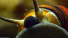 Japanese Trapdoor Snail Mouth